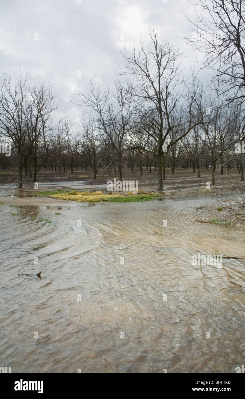 Agriculture - Flooded pecan orchard after heavy January rains / near Corning, California, USA. - Stock Image