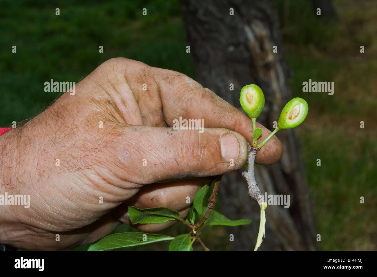 The hand of a prune grower holding damaged immature prunes caused by a heavy unusual Spring freeze / Red Bluff, - Stock Image