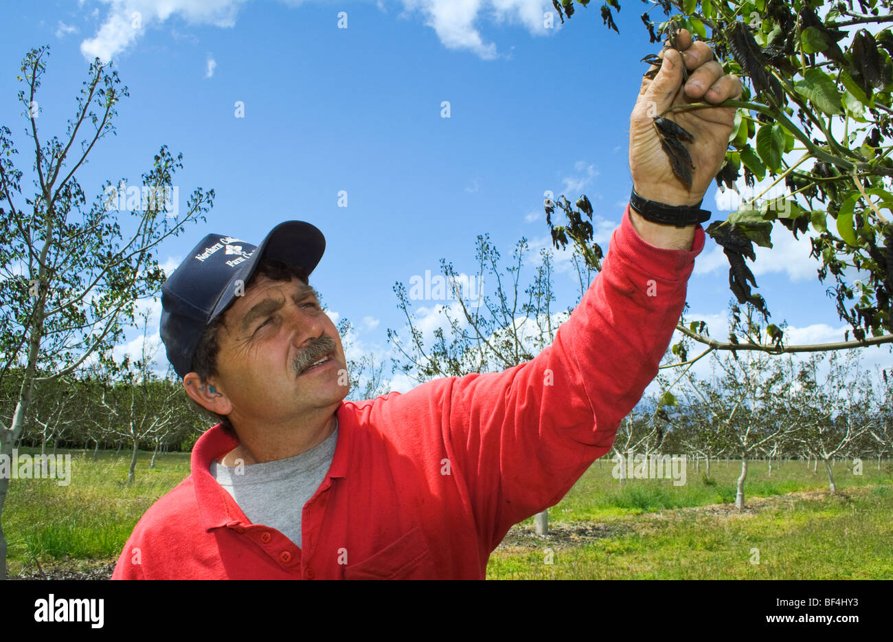 A walnut grower inspects the damage to his crop caused by a heavy unusual Spring freeze / near Red Bluff, California, - Stock Image