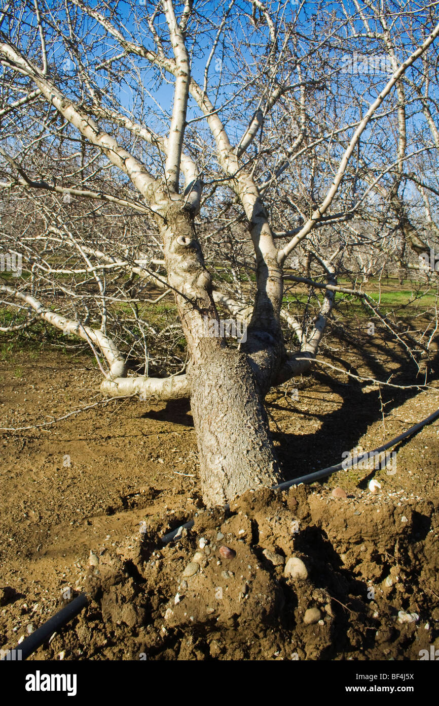 Agriculture - A toppled almond tree uprooted by heavy winds during a major Winter storm / near Orland, California, - Stock Image