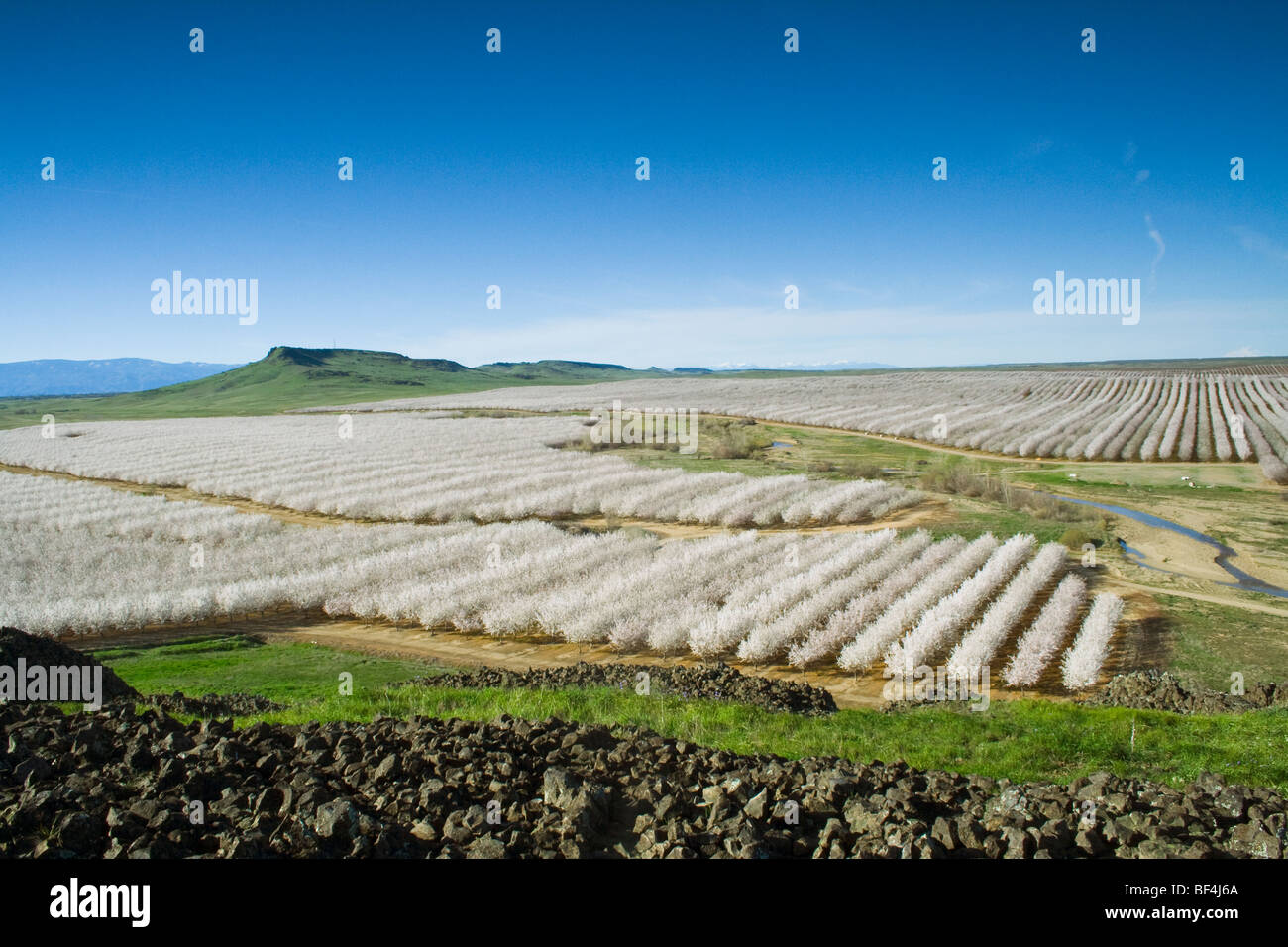 Agriculture - Elevated view of an almond orchard in full bloom in late Winter / Glenn County, California, USA. - Stock Image