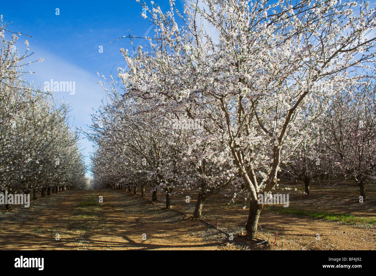 Agriculture - Almond orchard in full bloom in late Winter / Glenn County, California, USA. - Stock Image