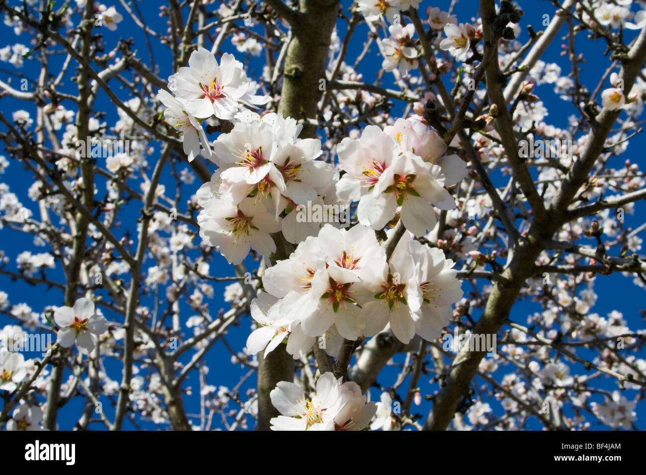 Agriculture - Almond blossoms in full bloom in late Winter / Glenn County, California, USA. - Stock Image
