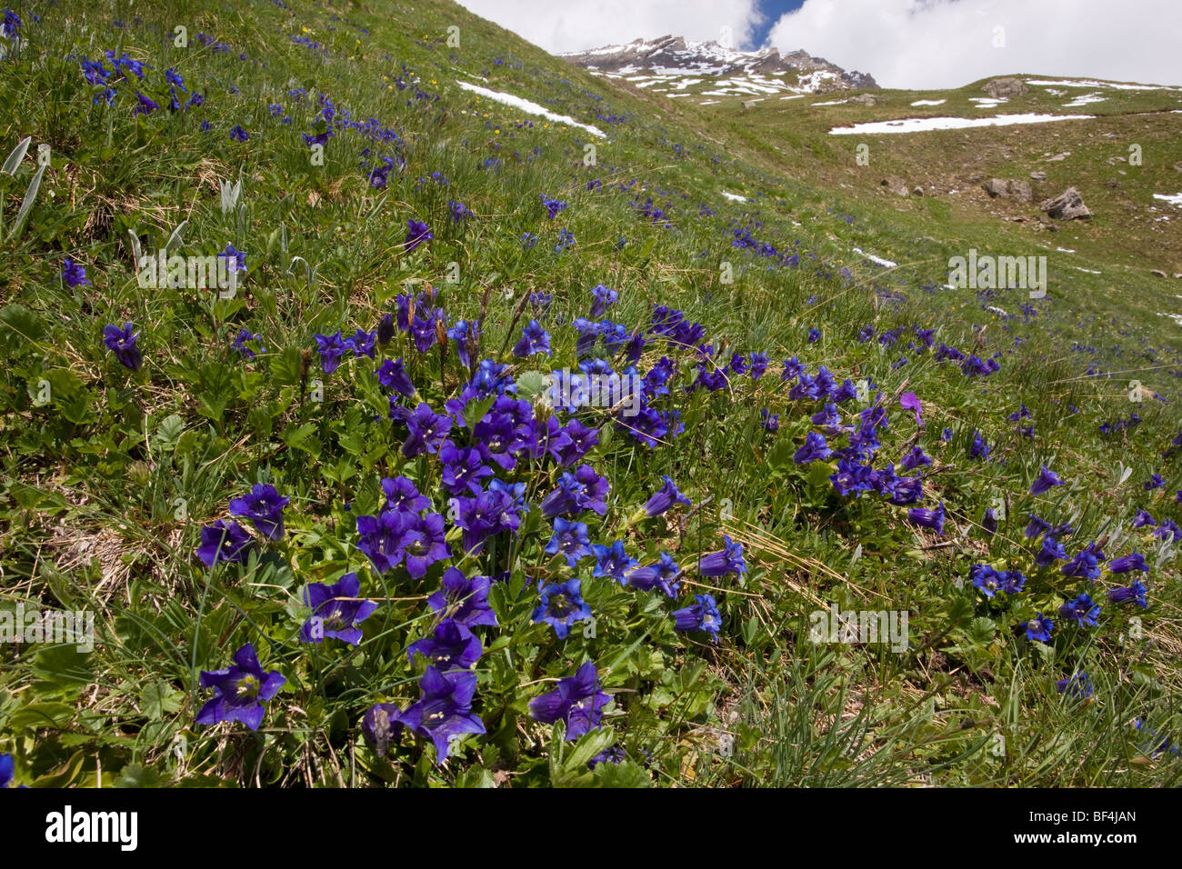 Flowery species-rich pastures with masses of trumpet gentians Gentiana acaulis Col d'Agnel, Queyras Natural - Stock Image