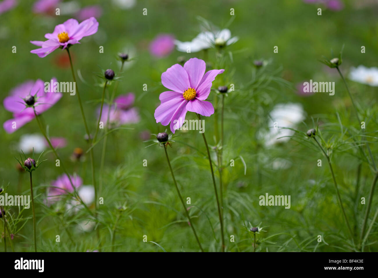 Beautiful pink Cosmos in gentle summer sun - Stock Image