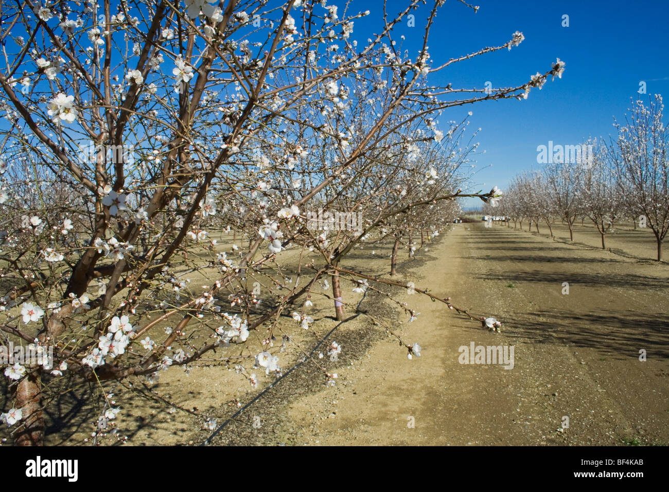 Almon orchard being used in a minimal pruning research project conducted by the University of California / California, - Stock Image
