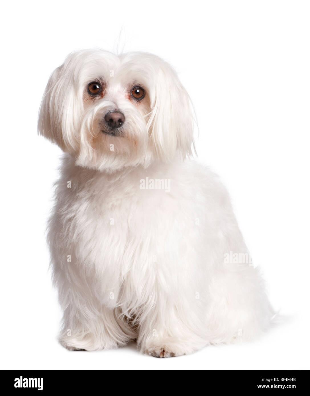 Portrait of maltese dog in front of white background, studio shot - Stock Image