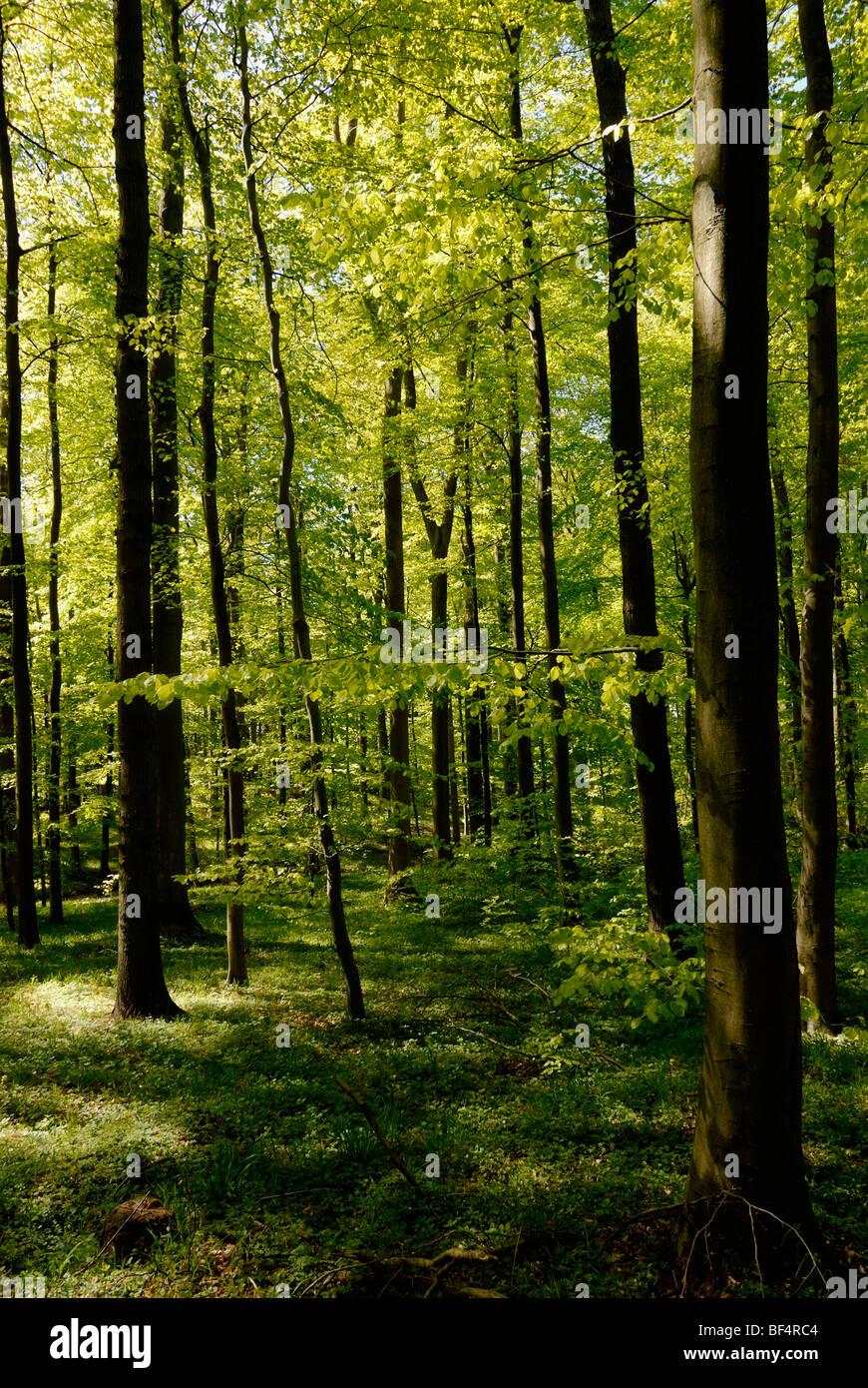 Spring in a Hornbeam (Carpinus betulus) forest Stock Photo