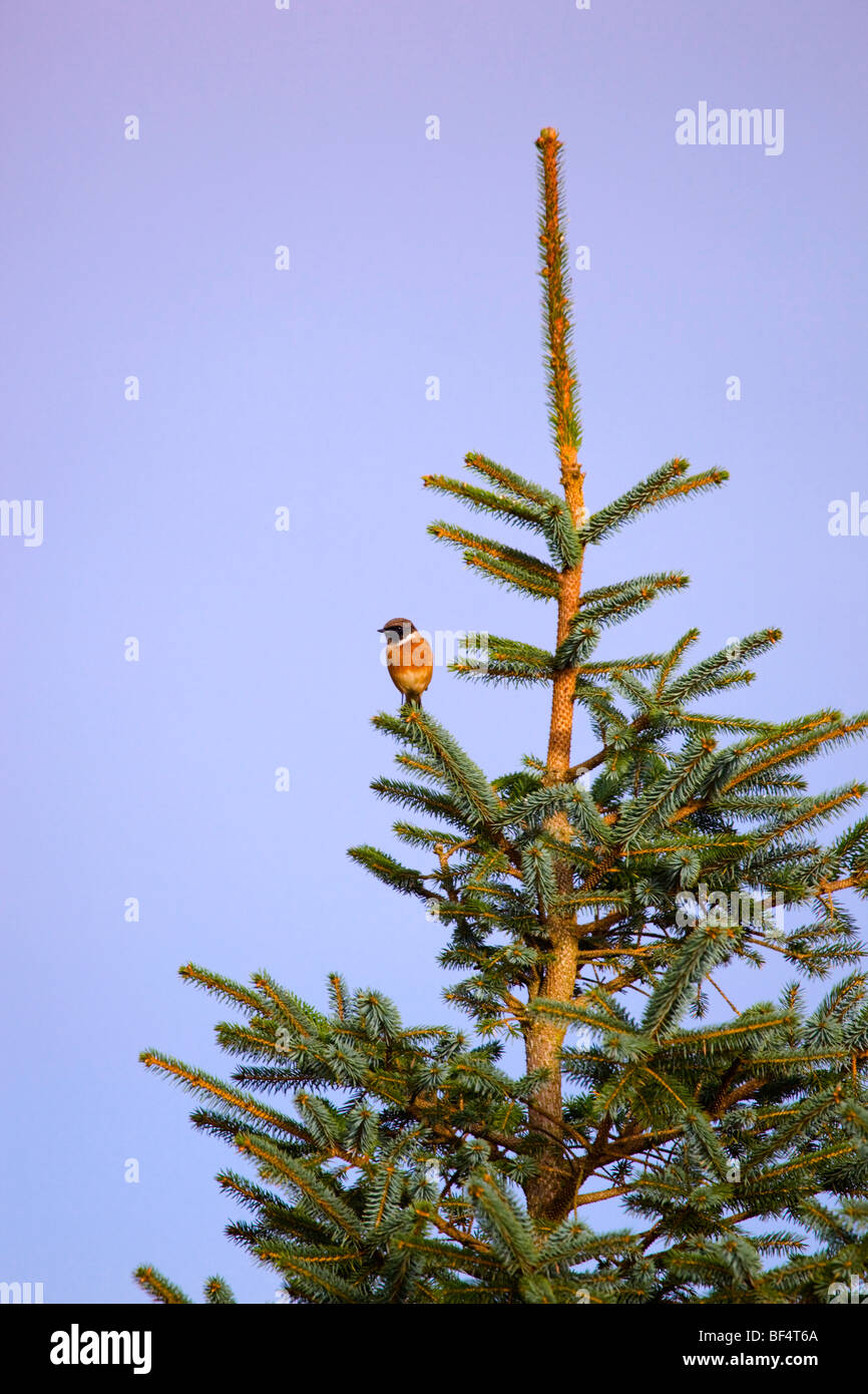 Stonechat; Saxicola torquata; on pine tree; Cornwall - Stock Image