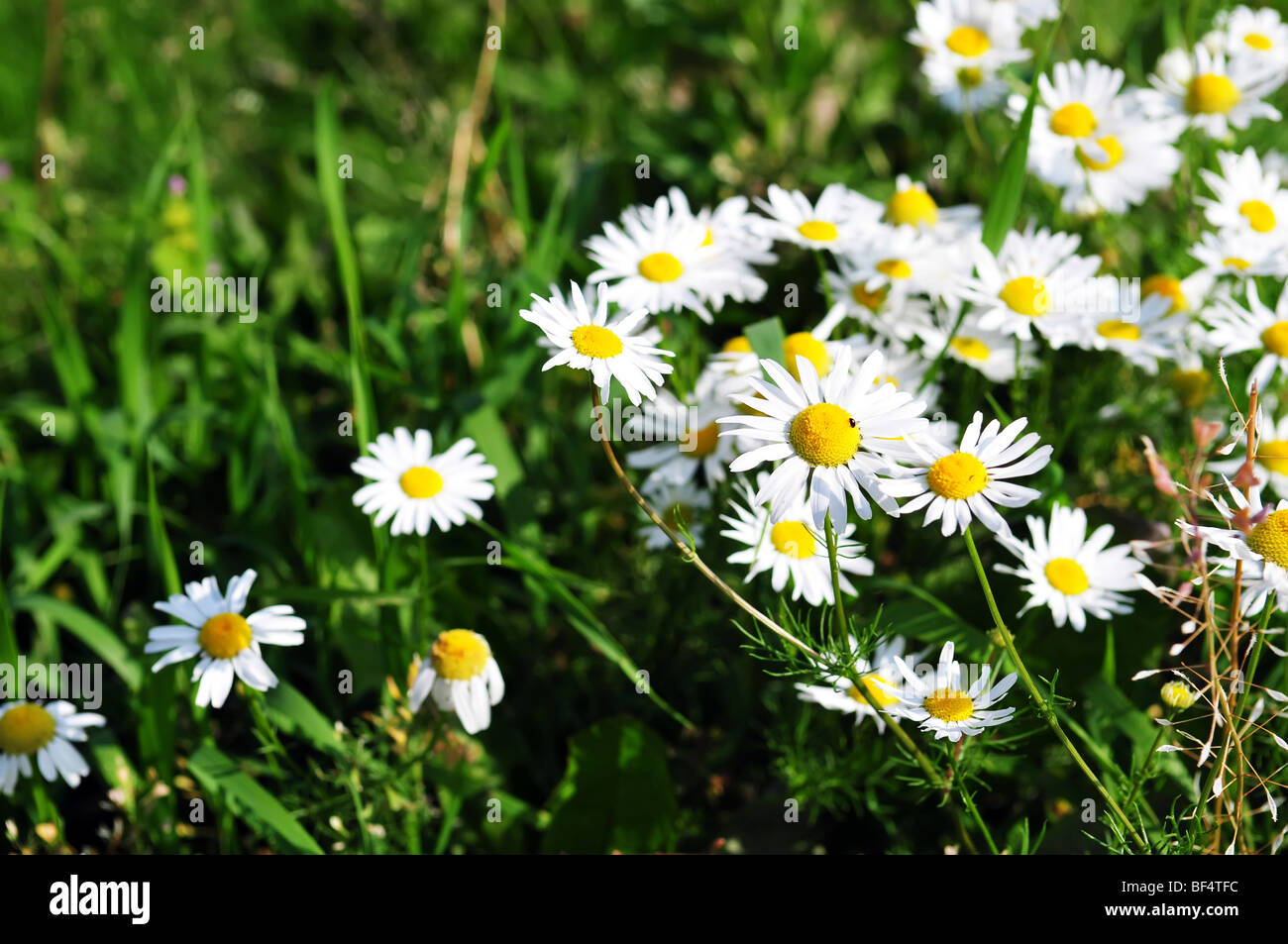 chamomile on natural background - shallow dof - Stock Image