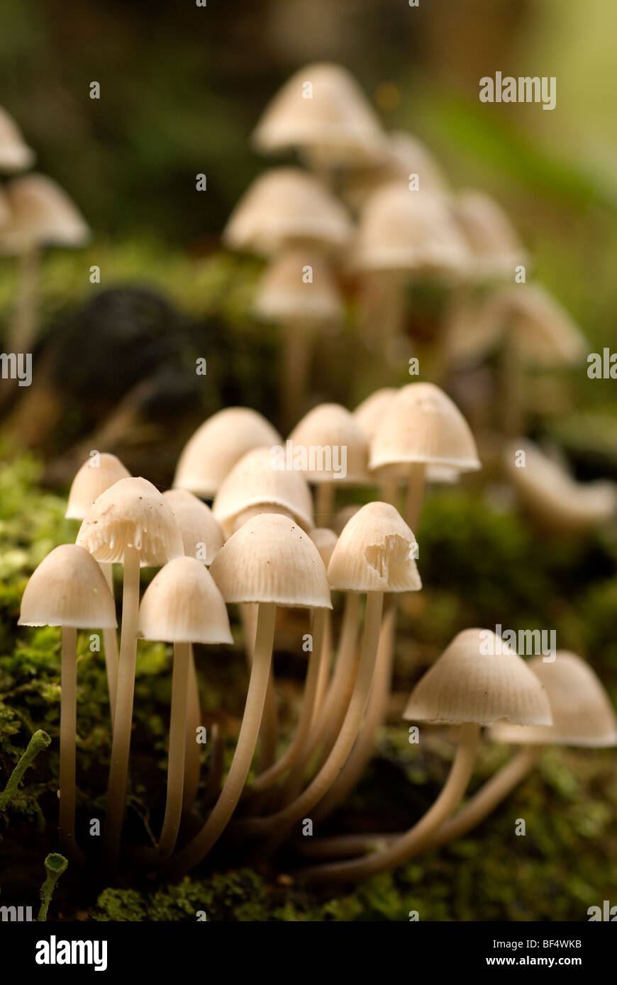 Fairies Bonnets, Coprinus disseminatus - Stock Image