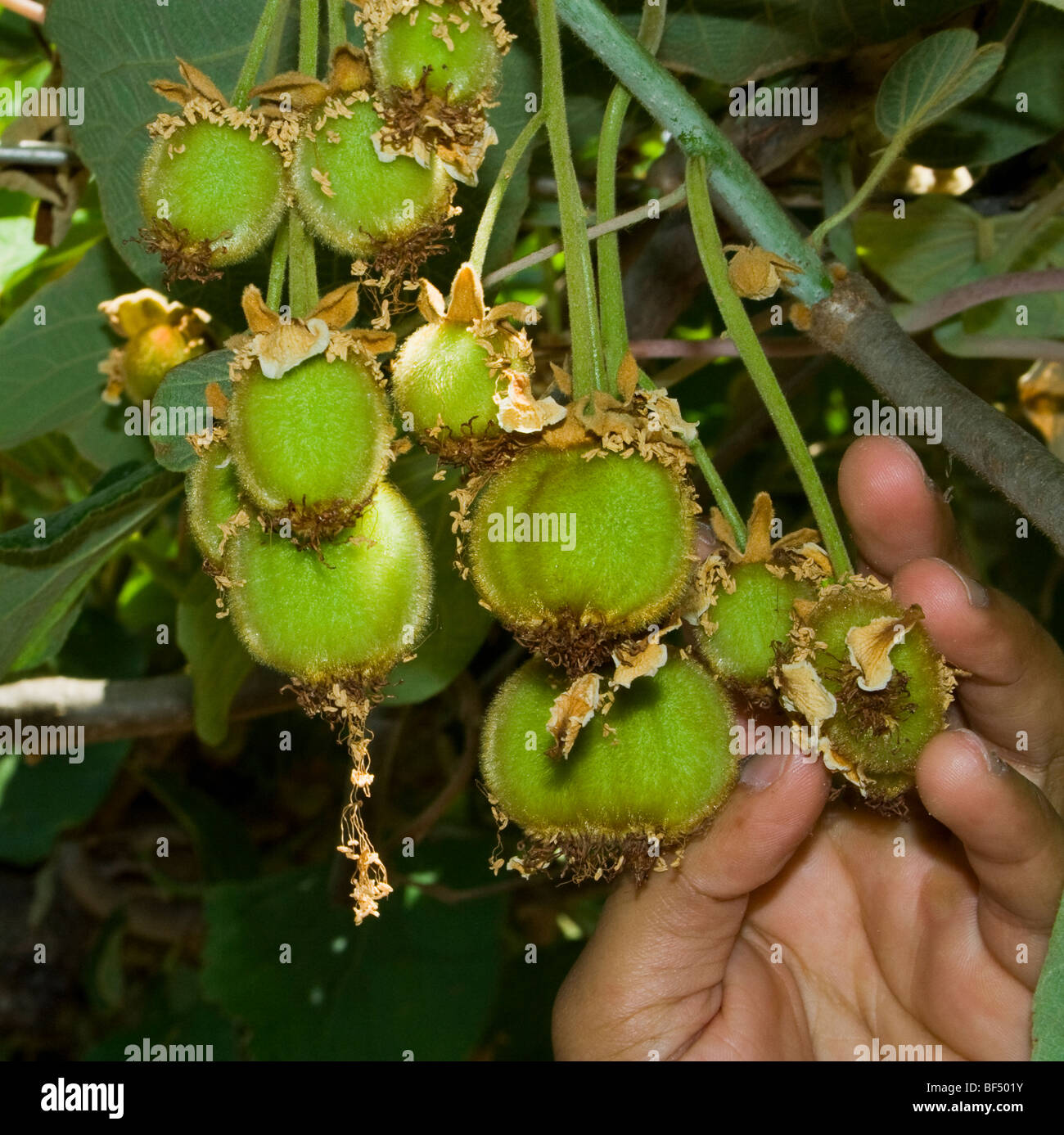 Agriculture - A growers hand with a cluster of immature kiwifruit / Gridley, California, USA. - Stock Image