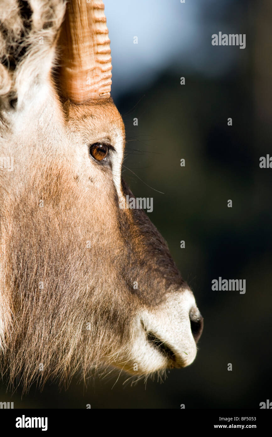 Close-up Waterbuck Portrait - Mount Kenya National Park, Kenya - Stock Image