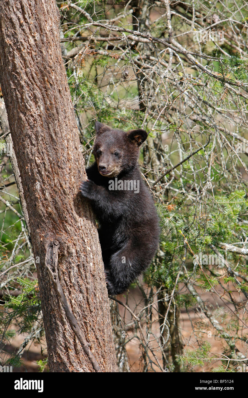American Black Bear (Ursus americanus). Spring cub (4 months old) climbing a tree to be secure. - Stock Image