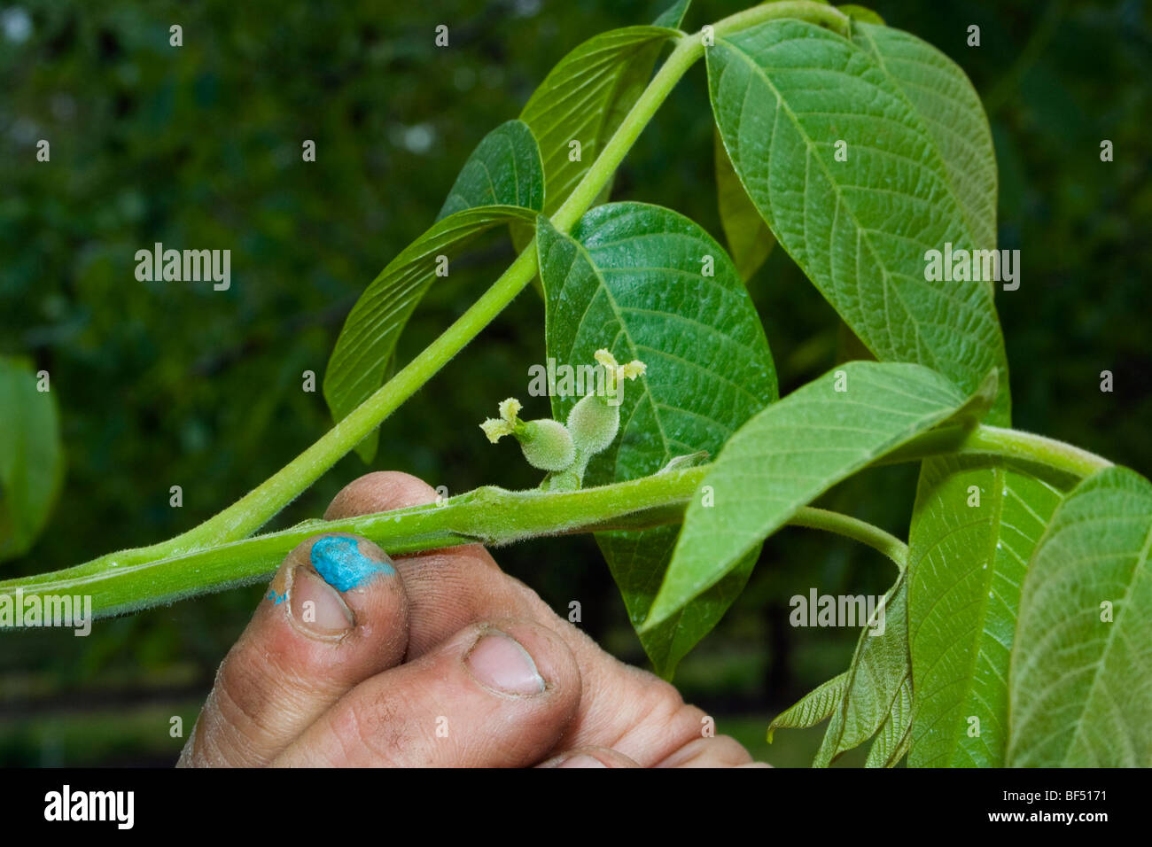 Agriculture - A growers hand holds a walnut tree branch showing tiny immature walnuts / near Red Bluff, California, - Stock Image