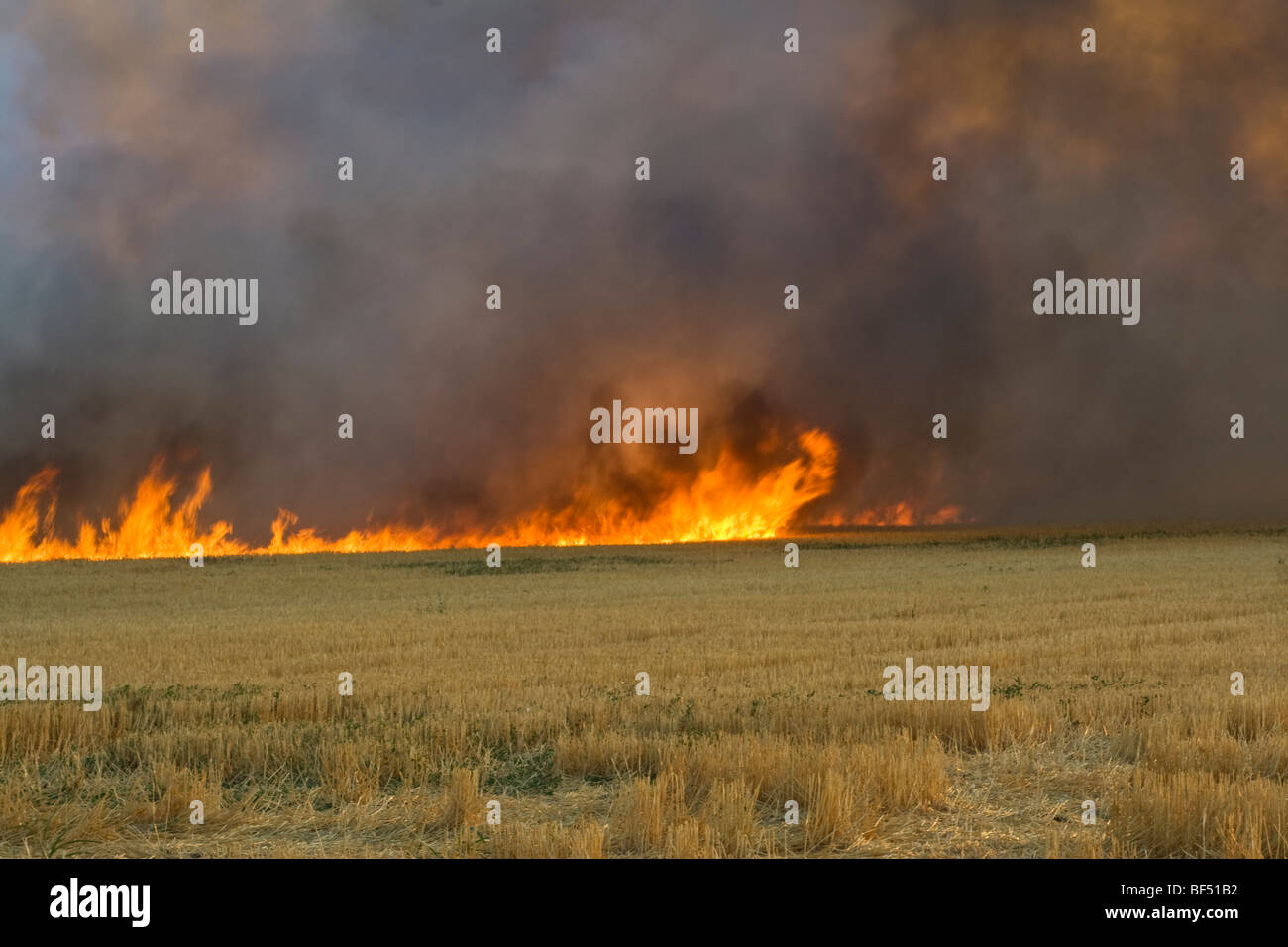 Wheat stubble being burned after the harvest to control diseases, reduce weed competition and to make the next planting Stock Photo