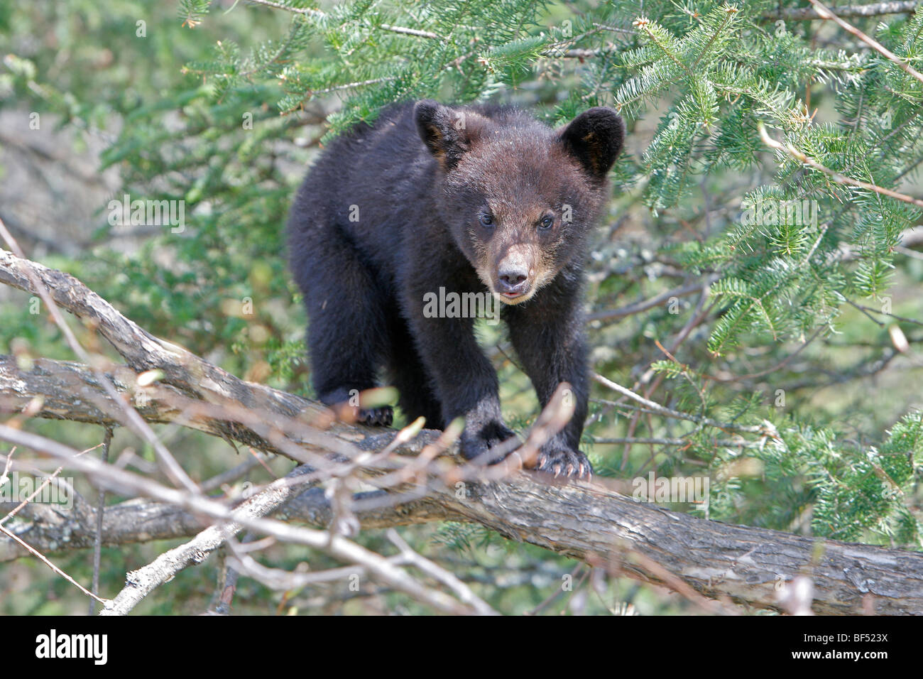American Black Bear (Ursus americanus). Spring cub (4 months old) secure in a tree. - Stock Image