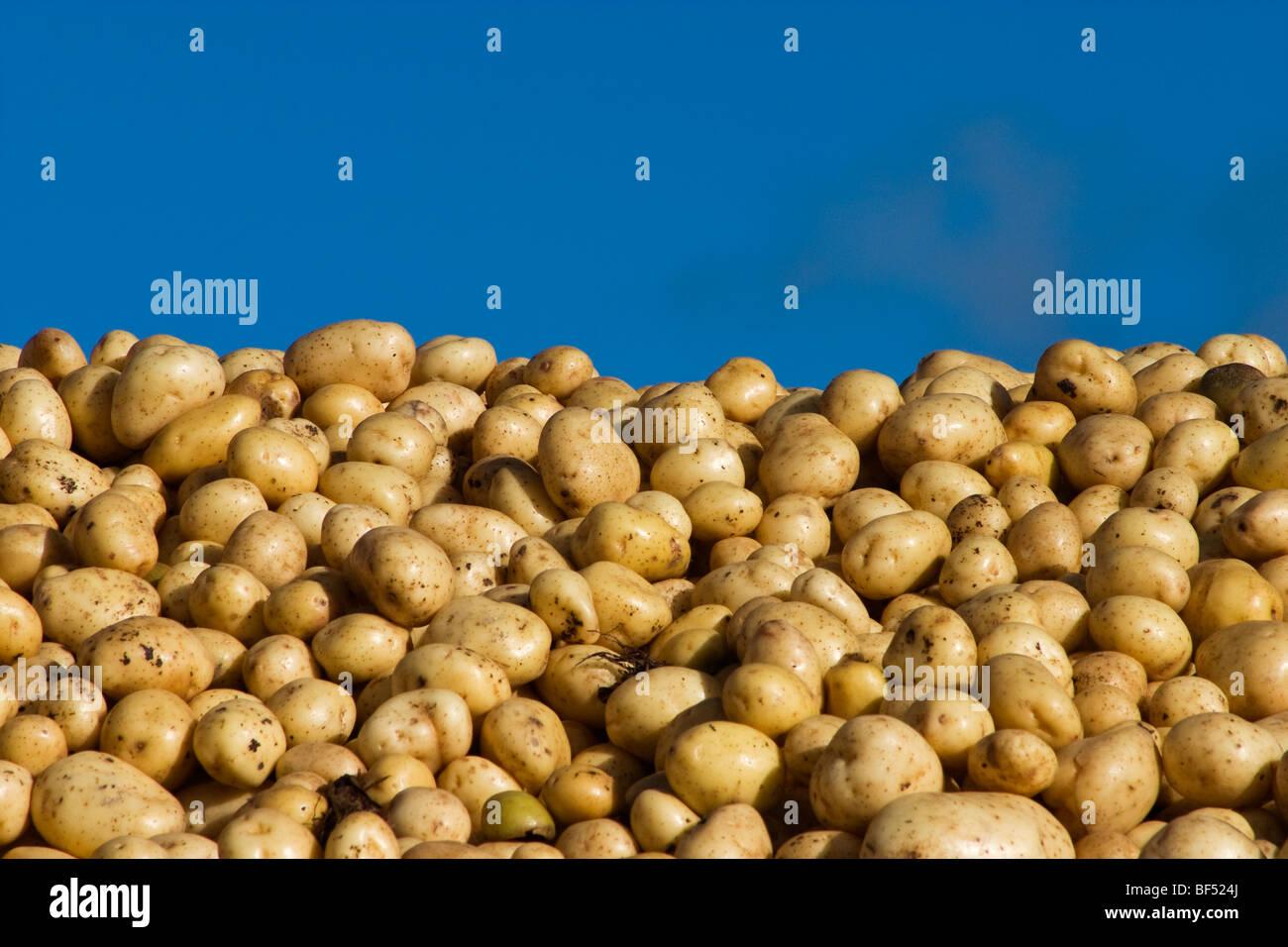 Agriculture - Freshly harvested Russet potatoes / Klamath Basin, Oregon, USA. - Stock Image