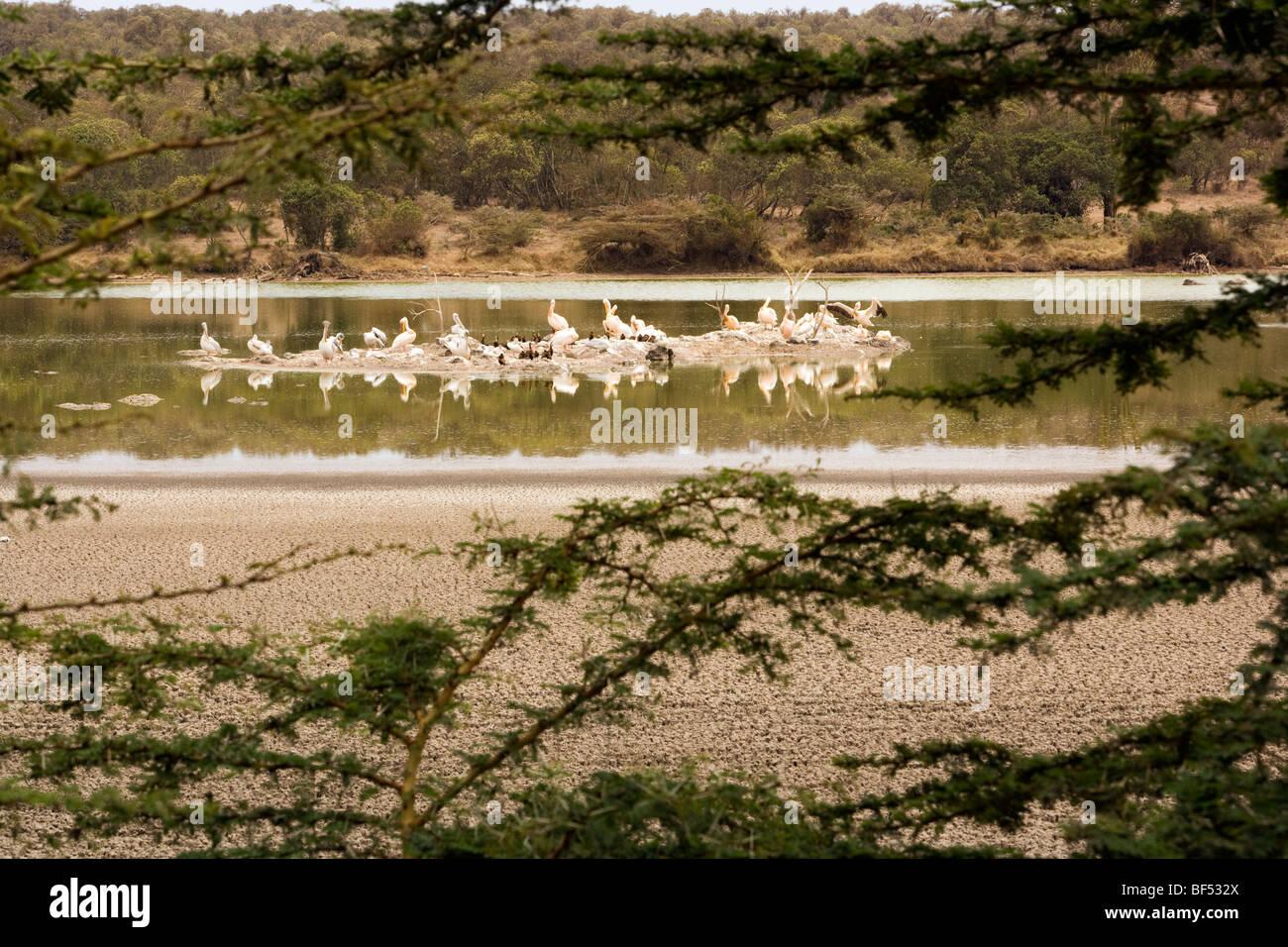 Great White Pelicans at Lake Sangare, Kenya - Stock Image