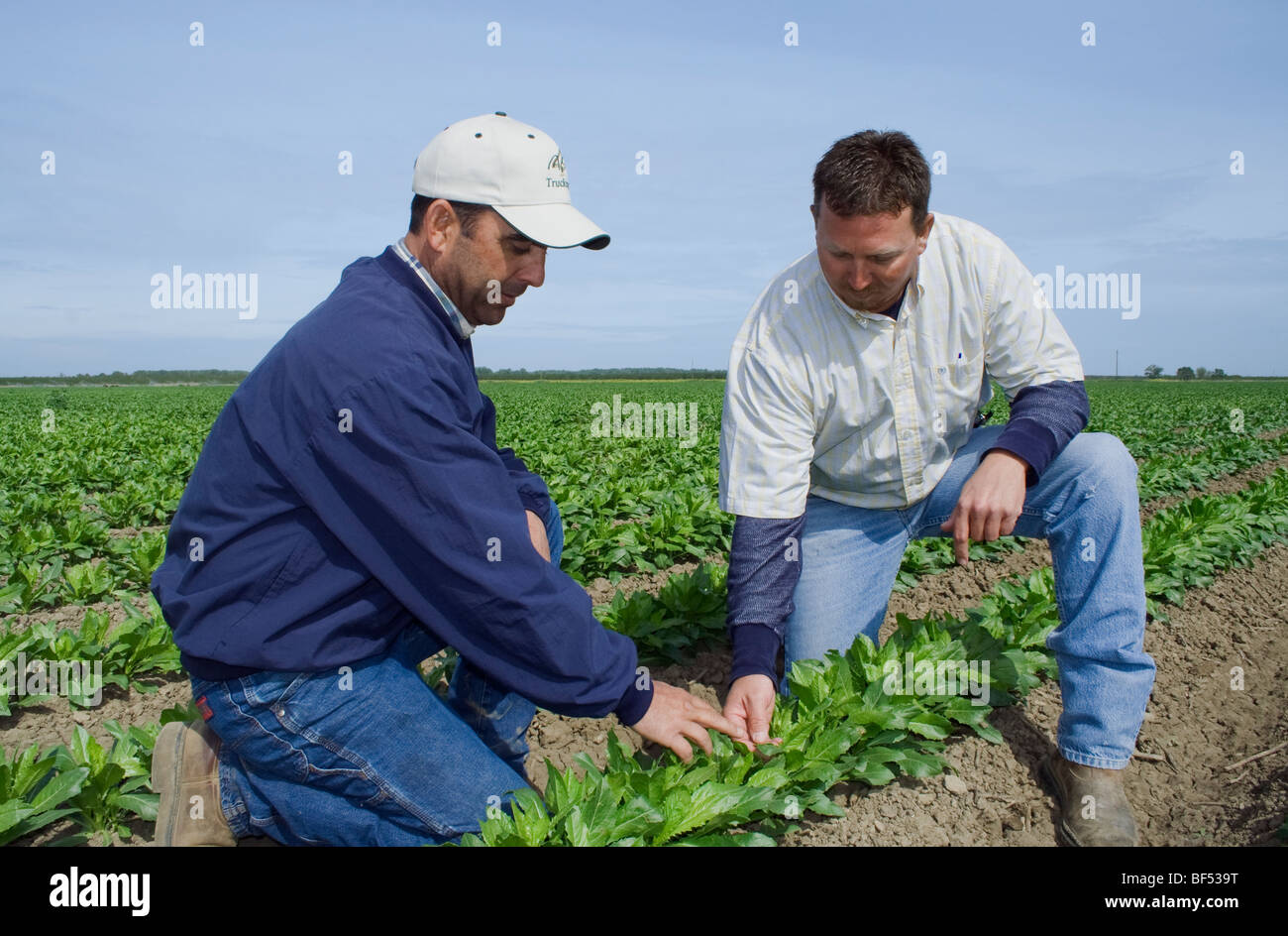 Agriculture - A grower and commodity broker in the field inspecting a crop of early growth safflower / McArthur, - Stock Image