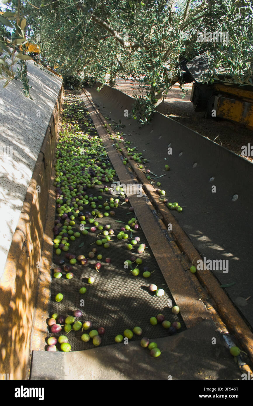 Agriculture - Freshly harvested table olives in the catching side of a mechanical harvester / near Arbuckle, California, - Stock Image