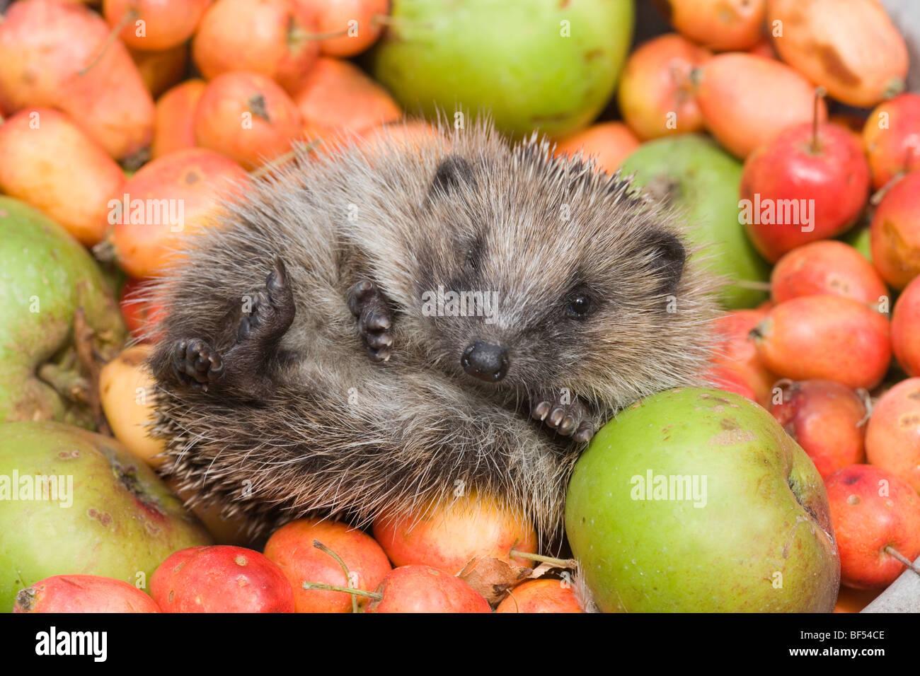 European Hedgehog (Erinaceus europaeus) amongst collected fallen apples (Malus sp. ). Showing soft hair underbelly. - Stock Image