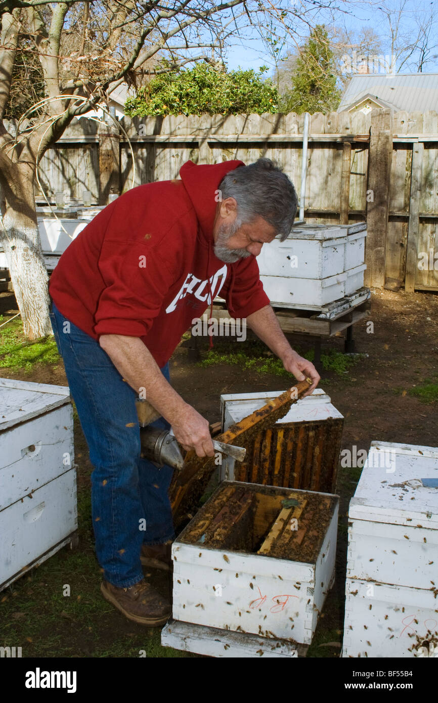 An apiculturist inspects honey bee (Apis mellinera) hives to determine the health of the hive / Orland, California, - Stock Image