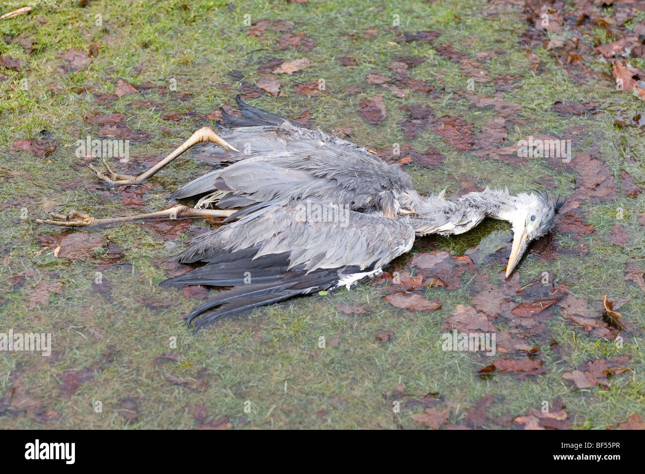 Grey Heron (Ardea cinerea). Winter fatality. Victim of starvation and cold (hypothermia). February. Norfolk. - Stock Image