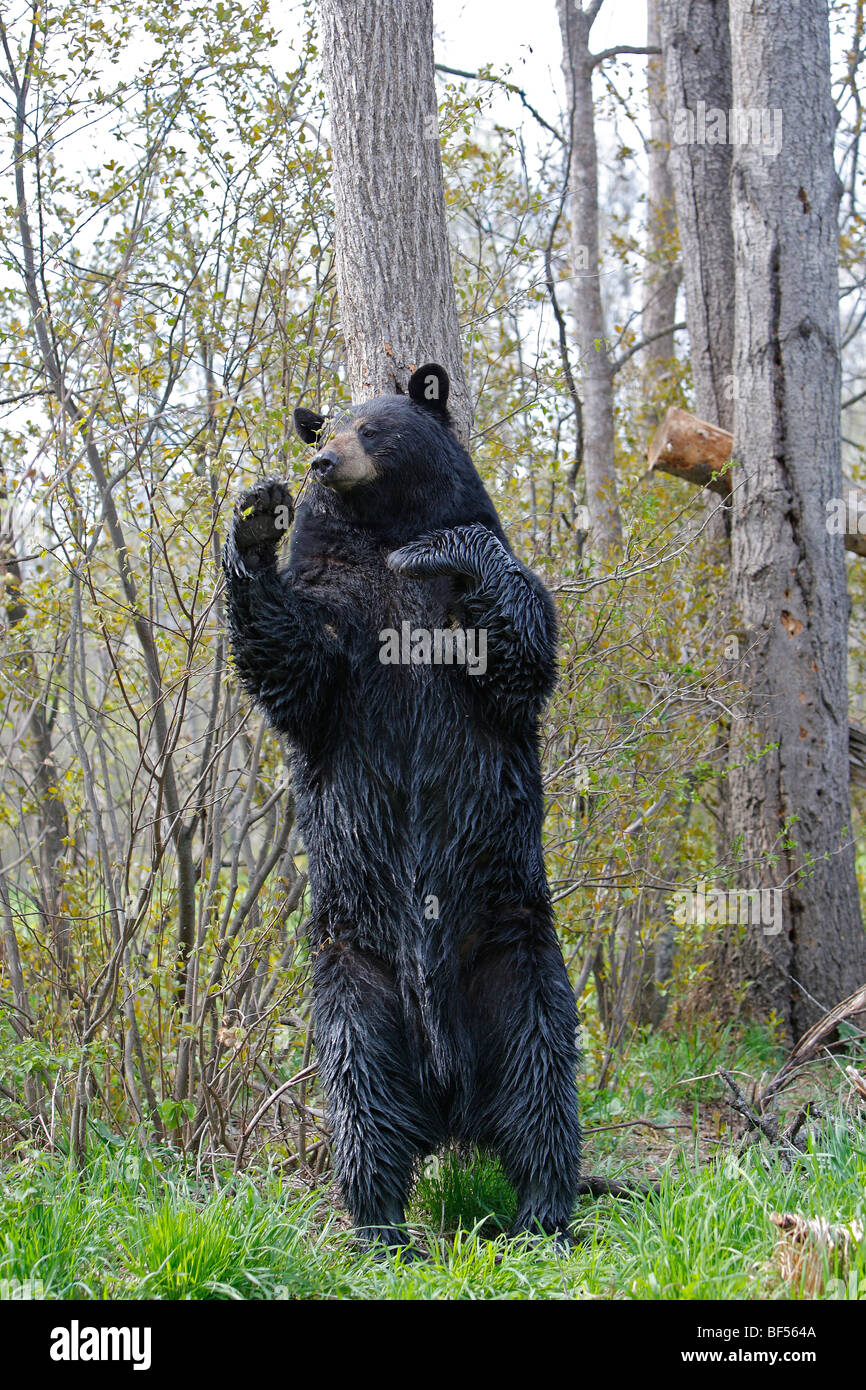 American Black Bear (Ursus americanus). Adult male on its hind legs, marking its territory by rubbing its neck on Stock Photo