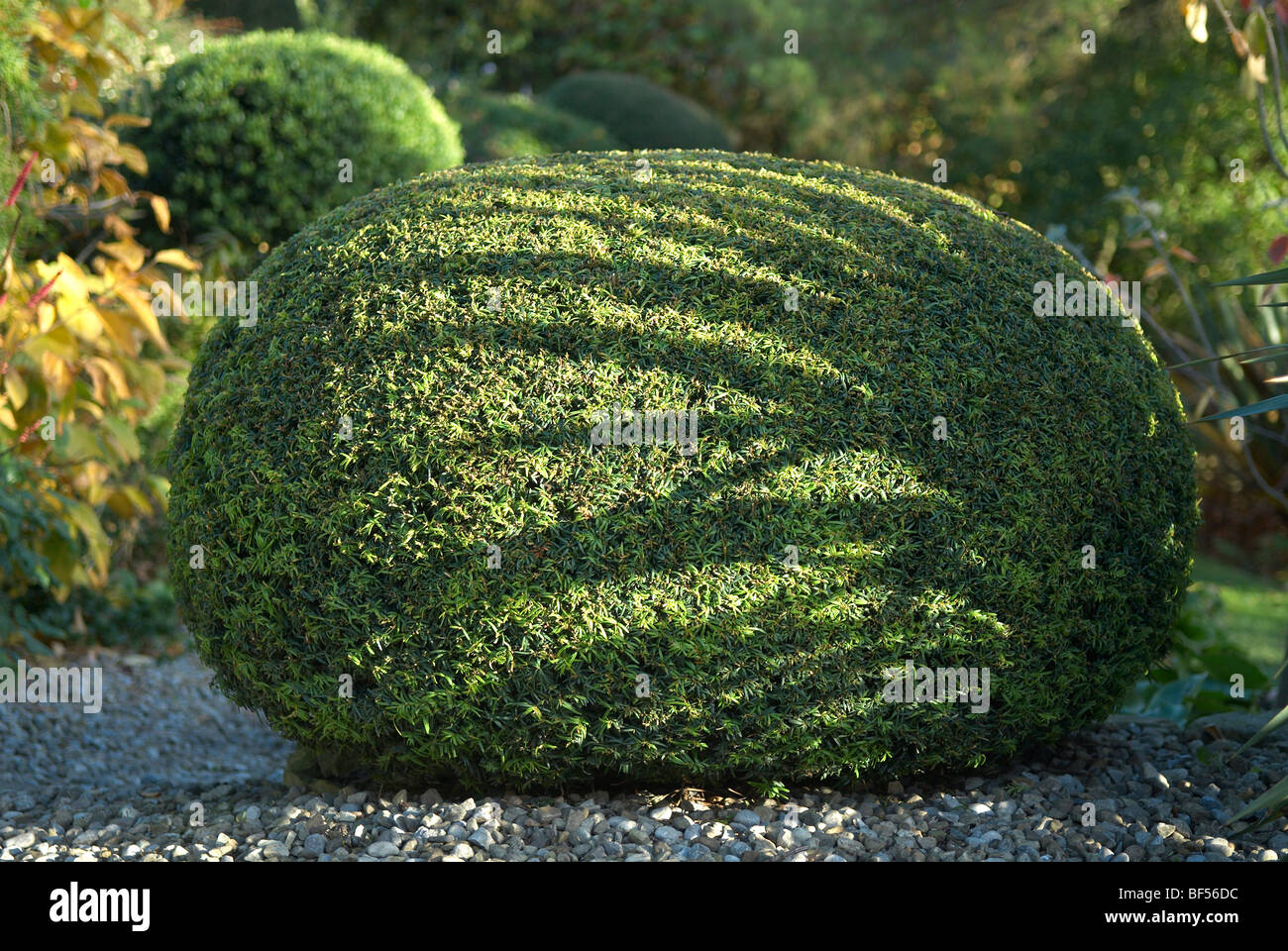 Clipped Yew hedge forming part of a topiary garden at Adel near Leeds UK - Stock Image