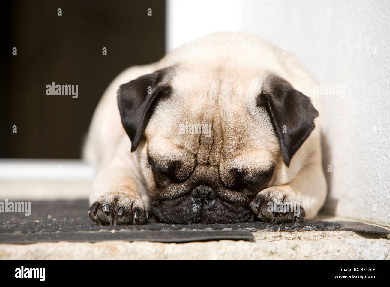 A pug is lying in a doorway in the sun, taking a nap - Stock Image