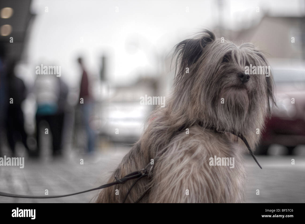 Shaggy dog - Stock Image