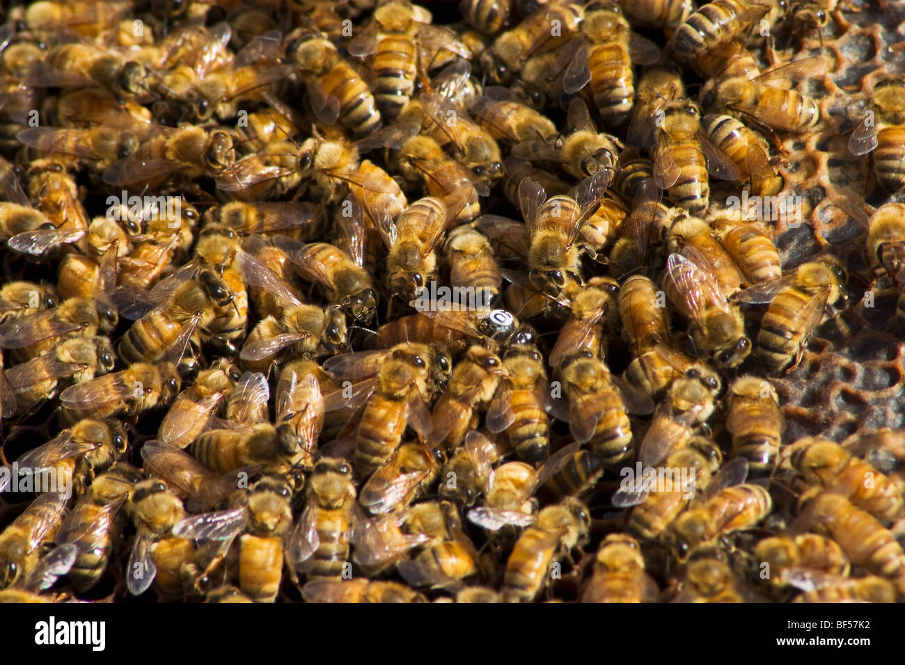 Agriculture - Honey bees (Apis mellinera) in a hive / Orland, California, USA. - Stock Image