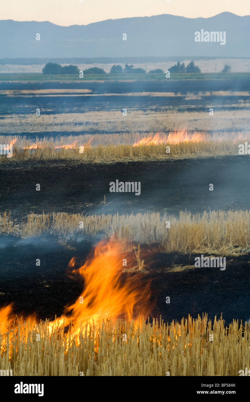 Wheat stubble being burned after the harvest to control diseases, reduce weed competition and to make the next planting - Stock Image