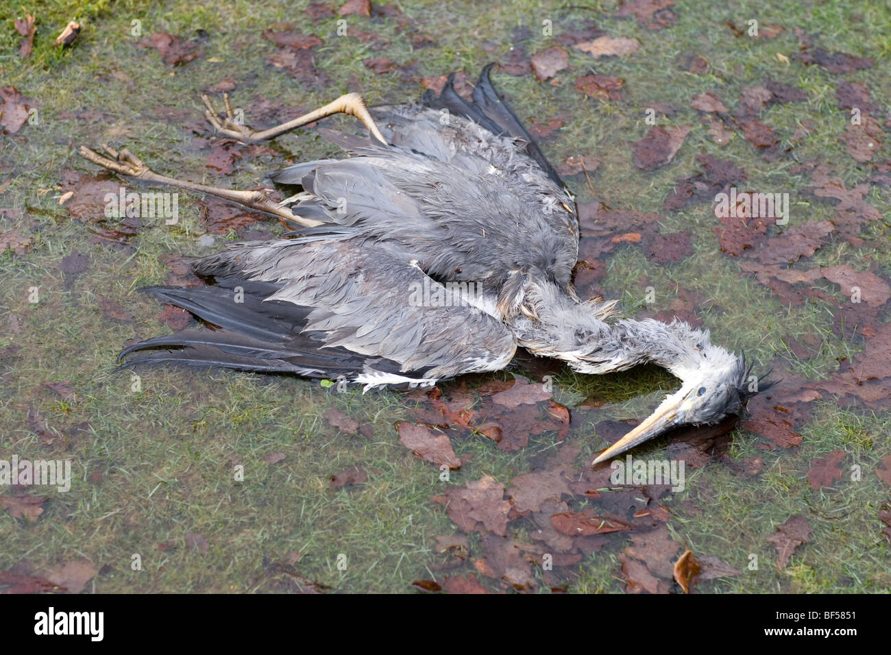 Grey Heron (Ardea cinerea). Death from starvation and winter cold (Hypothermia). February. Norfolk. England. - Stock Image