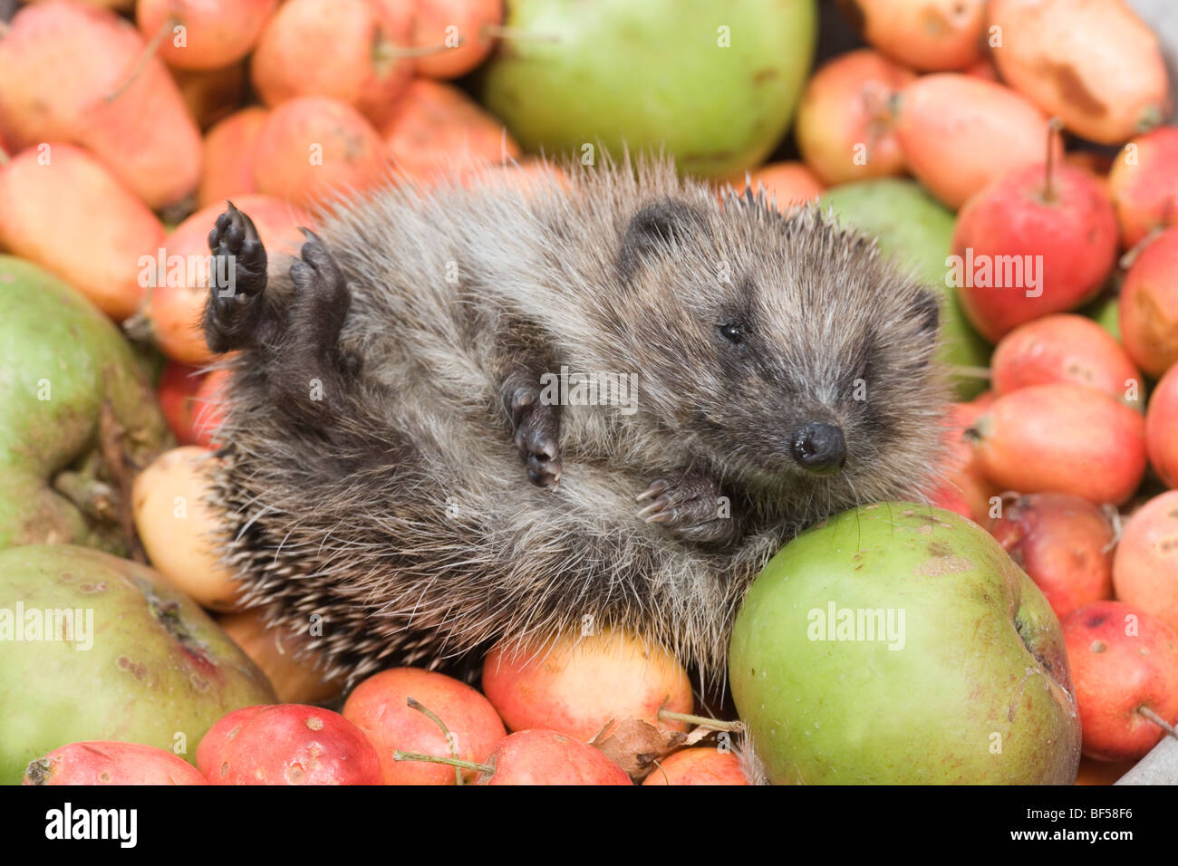 European Hedgehog (Erinaceus europaeus). Uncurling, unrolling amongst collected fallen apples, revealing soft hairy - Stock Image