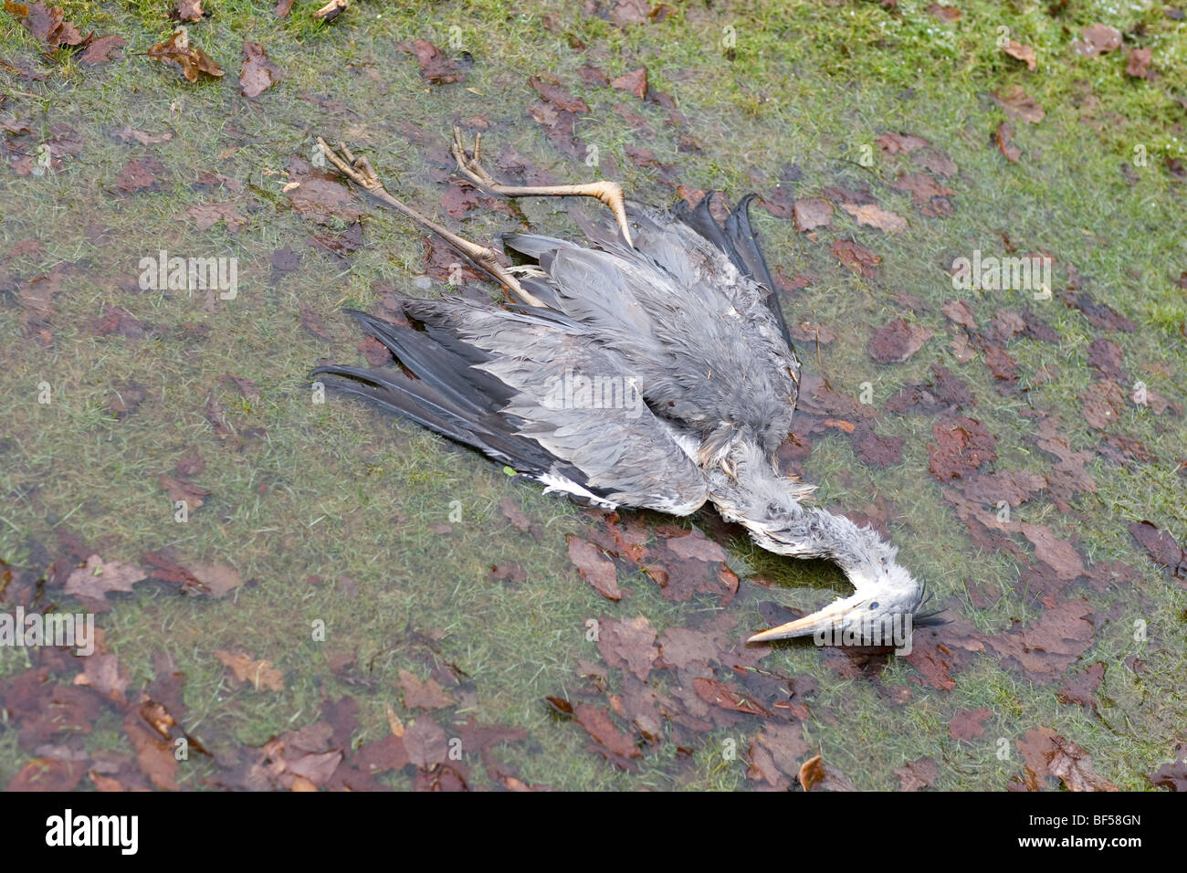 Grey Heron (Ardea cinerea). Death caused by starvation and winter cold (hypothermia). - Stock Image