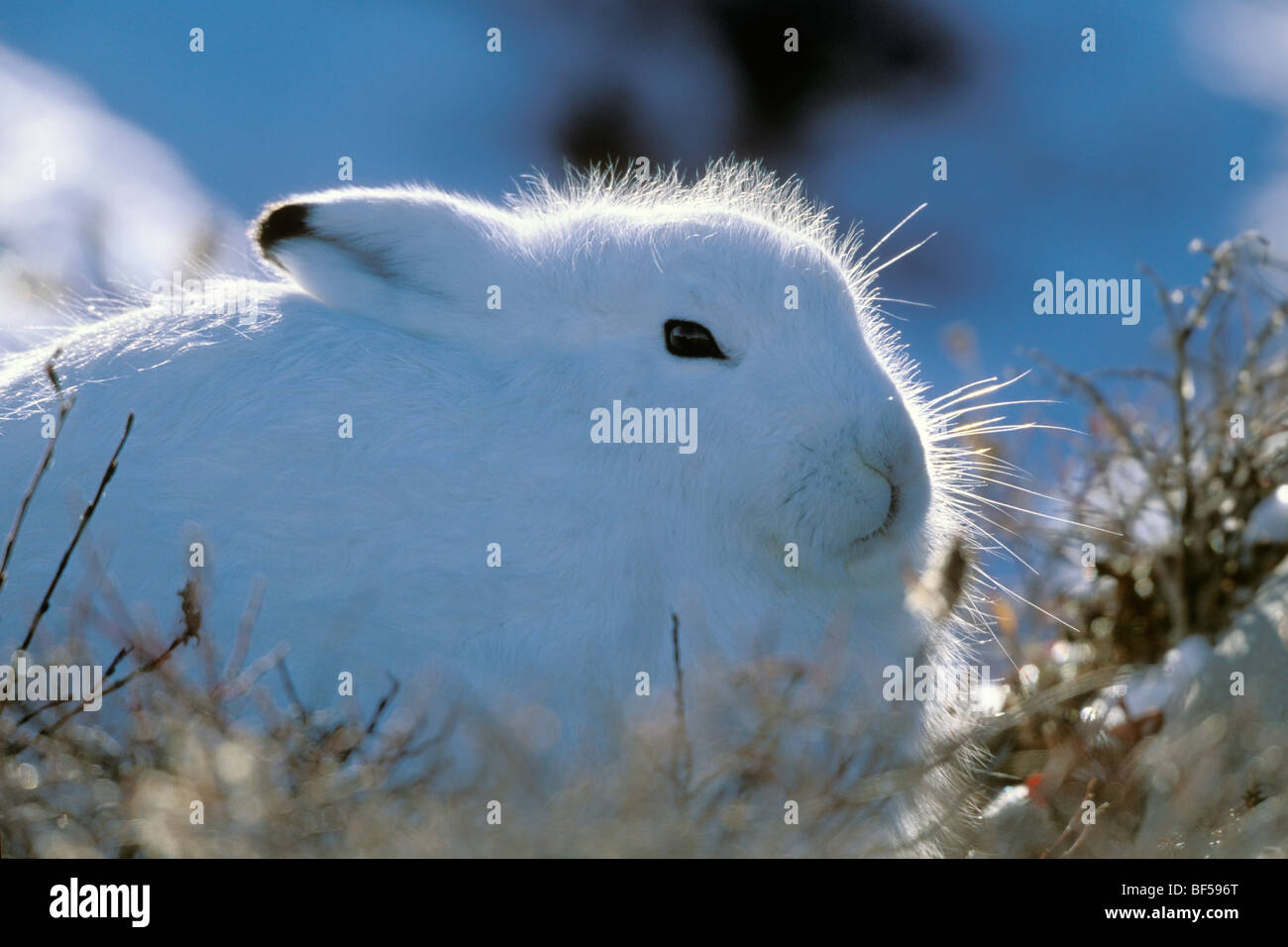 Arctic hare (Lepus arcticus), taking cover, snow, Churchill, Canada - Stock Image