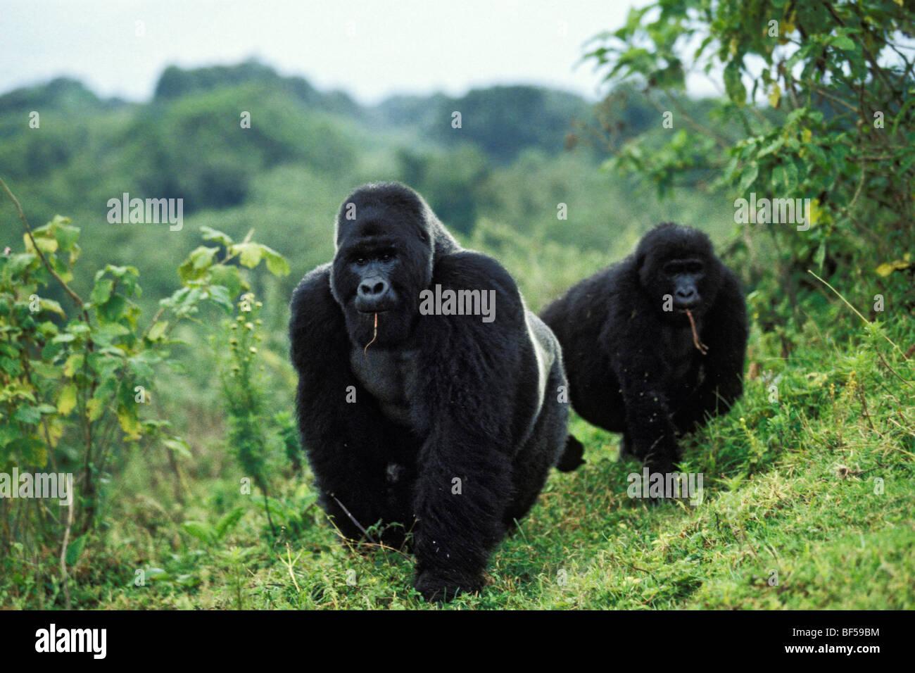 Mountain gorillas (Gorilla beringei), foraging, Virunga Nationalpark, Zaire - Stock Image