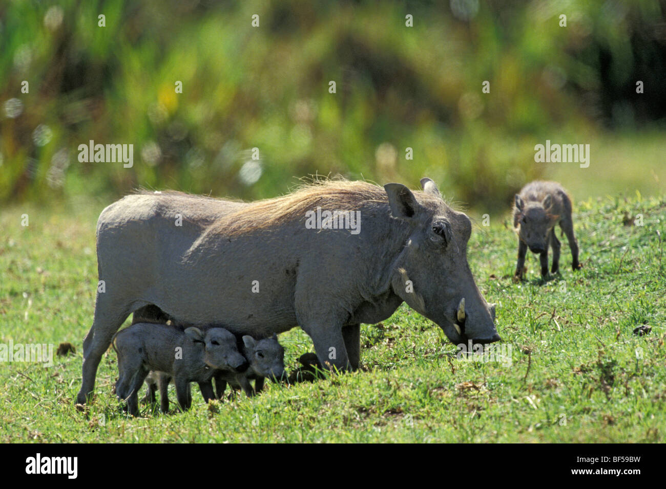 Warthog (Phacochoerus aethiopicus) with piglets, Serengeti, Tanzania, Africa - Stock Image