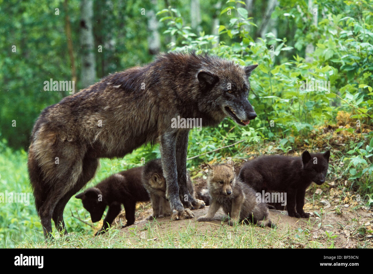Wolf (Canis lupus) with pups at den, North America - Stock Image
