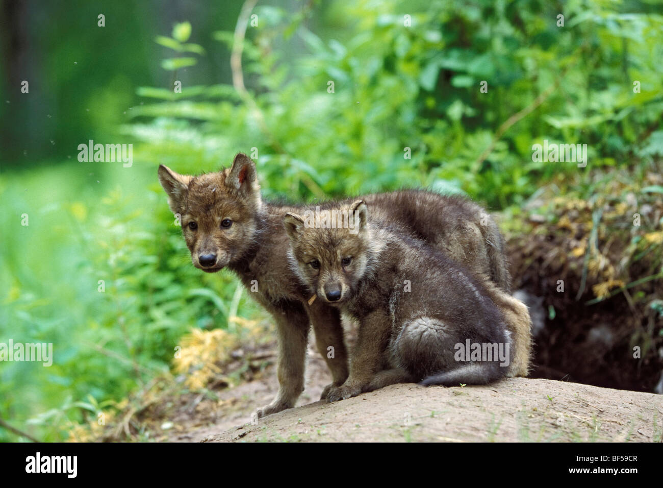 Wolf (Canis lupus) pups at den, North America - Stock Image