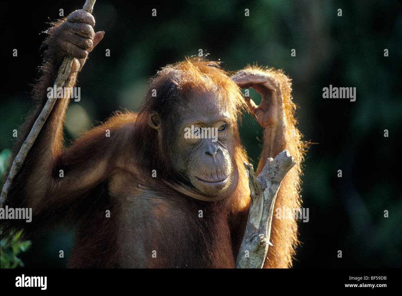 Young Orang Utan (Pongo pygmaeus) in tree, thoughtful, Tanjung Puting National Park, Borneo Stock Photo