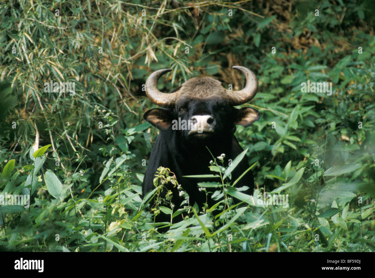 Gaur (Bos gaurus), male, Nilgiri mountains, Western Ghats, South India, India, Asia - Stock Image
