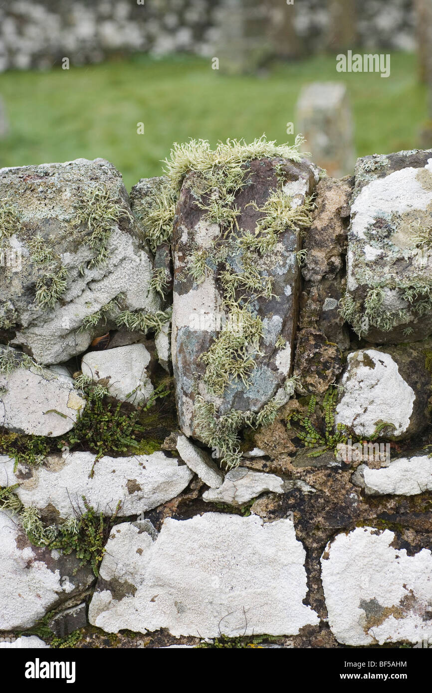 Lichens and Ferns growing on a stone wall. Kildalton, Islay, West coast. Scotland. - Stock Image