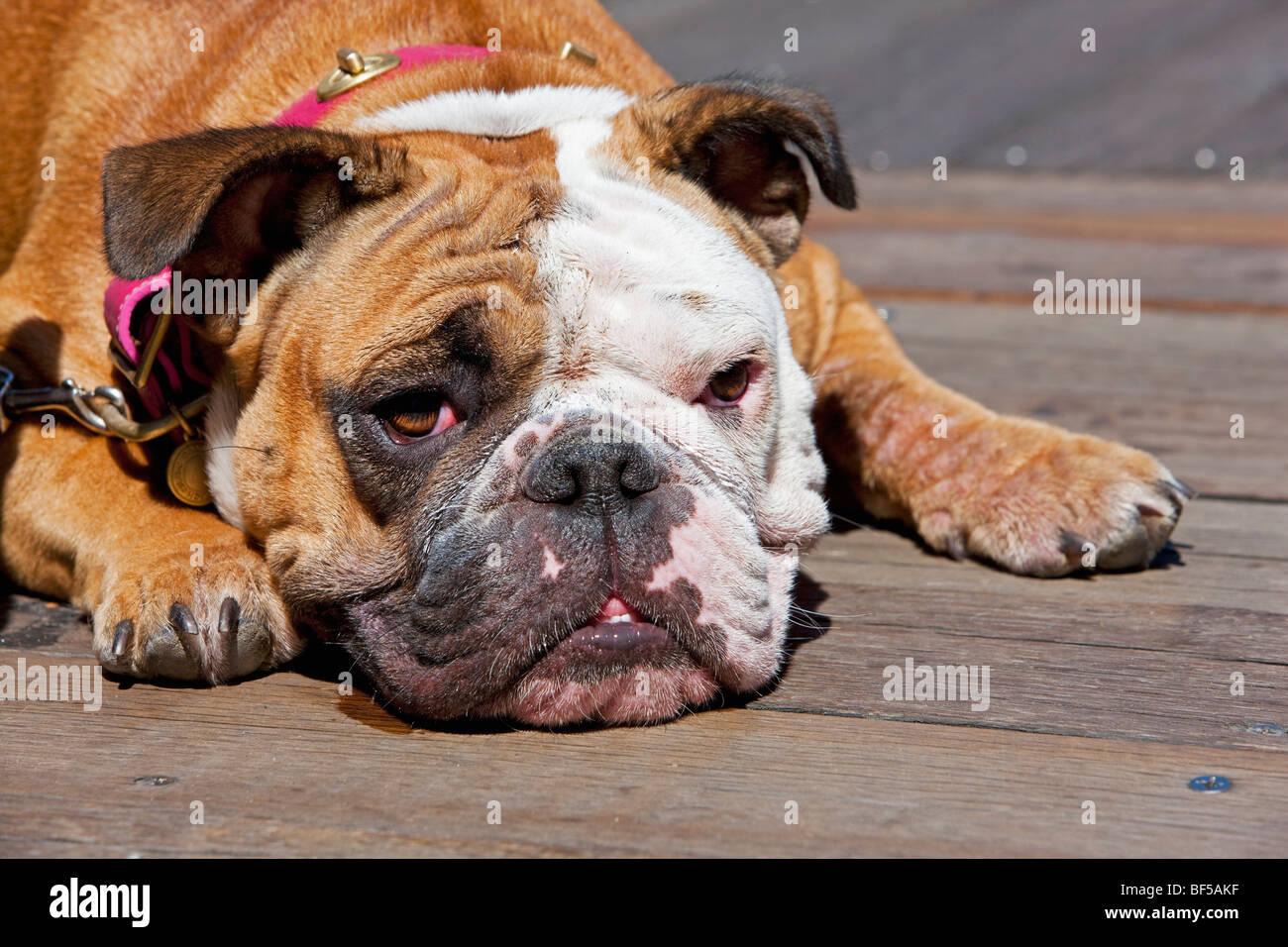 French Bulldog, San Francisco, California, USA, America - Stock Image