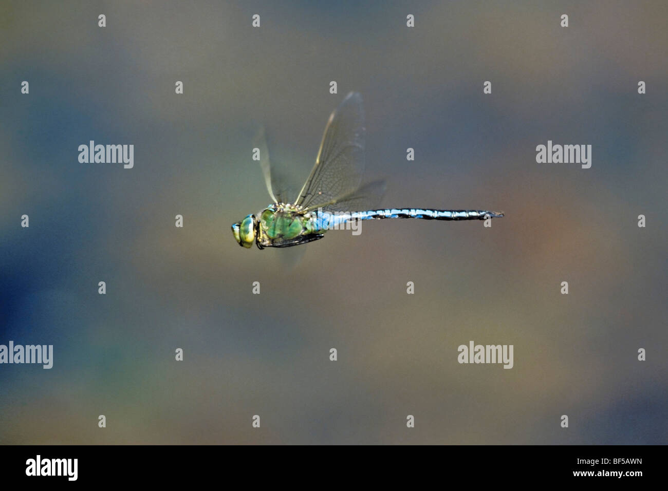 Dragonfly (Anax imperator) flying - Stock Image