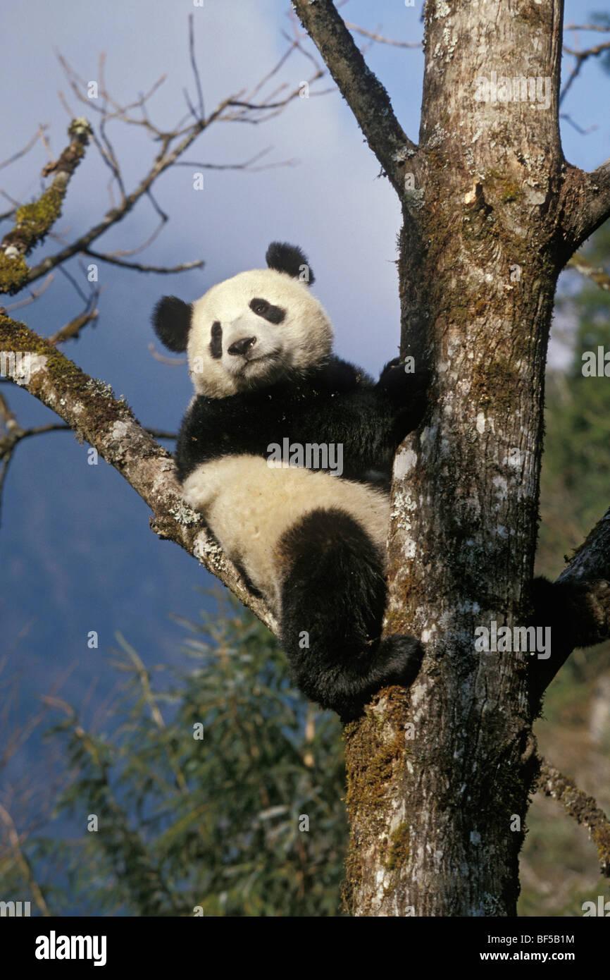 Great Panda (Ailuropoda melanoleuca) climbing tree, Wolong Valley, Himalayas, China, Asia - Stock Image