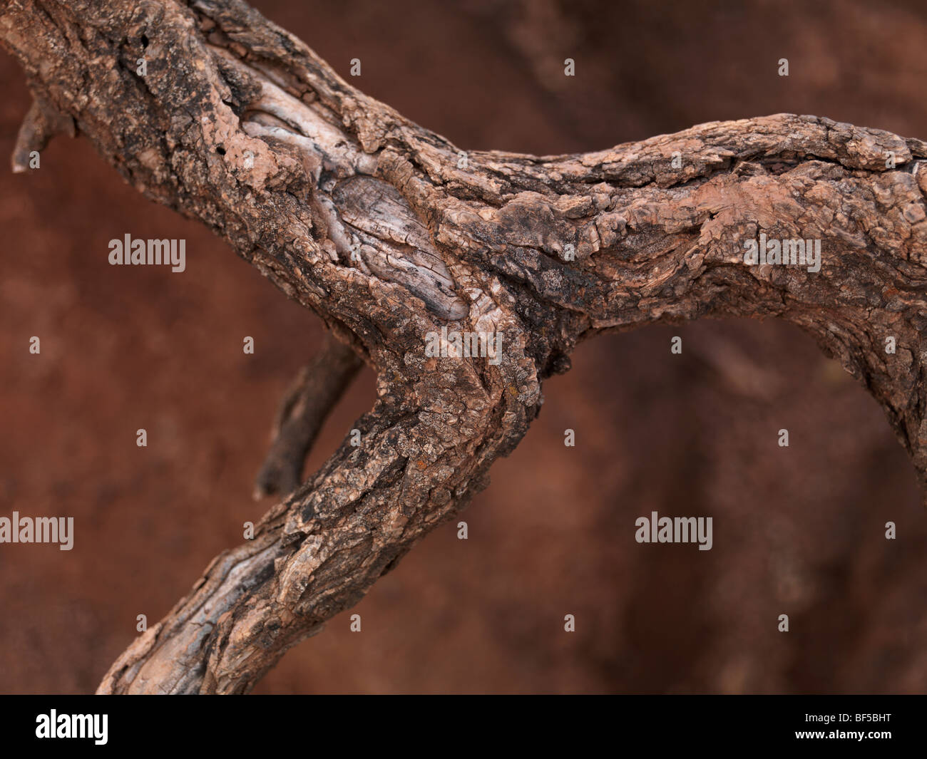 Closeup of curled tree roots sticking out of dry eroded red soil - Stock Image