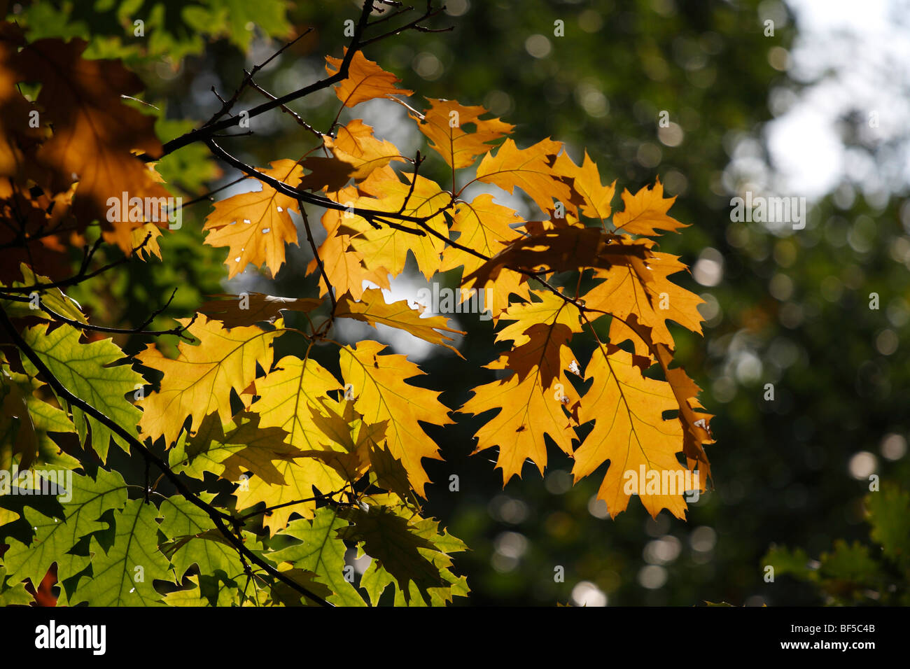 Oak leaves (Quercus) in the fall Stock Photo